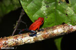 Strawberry poison-dart frog (Oophaga pumilio) [costa_rica_la_selva_1806]