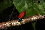 Strawberry poison-dart frog (Oophaga pumilio) [costa_rica_la_selva_1807]