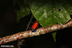 Strawberry poison-dart frog (Oophaga pumilio) [costa_rica_la_selva_1810]