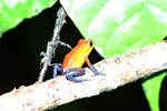 Strawberry poison-dart frog (Oophaga pumilio) [costa_rica_la_selva_1811]