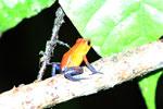 Strawberry poison-dart frog (Oophaga pumilio) [costa_rica_la_selva_1811]