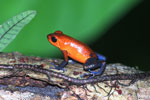 Strawberry poison-dart frog (Oophaga pumilio) [costa_rica_la_selva_1812]