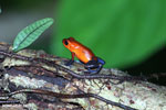 Strawberry poison-dart frog (Oophaga pumilio) [costa_rica_la_selva_1814]