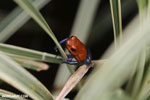 Strawberry poison-dart frog (Oophaga pumilio) [costa_rica_la_selva_1821]