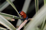 Strawberry poison-dart frog (Oophaga pumilio) [costa_rica_la_selva_1823]