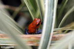 Strawberry poison-dart frog (Oophaga pumilio) [costa_rica_la_selva_1824]