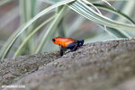Strawberry poison-dart frog (Oophaga pumilio) [costa_rica_la_selva_1827]