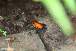 Strawberry poison-dart frog (Oophaga pumilio) [costa_rica_la_selva_1828]