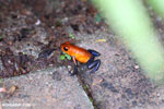 Strawberry poison-dart frog (Oophaga pumilio) [costa_rica_la_selva_1829]