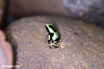 Baby green-and-black poison dart frog [costa_rica_la_selva_1836]