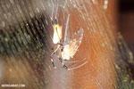 Orb spider eating a cicada [costa_rica_la_selva_1855]