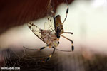 Orb spider eating a cicada [costa_rica_la_selva_1857]