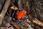 Strawberry poison-dart frog (Oophaga pumilio) [costa_rica_la_selva_1858]