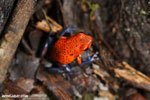 Strawberry poison-dart frog (Oophaga pumilio) [costa_rica_la_selva_1859]