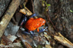Strawberry poison-dart frog (Oophaga pumilio) [costa_rica_la_selva_1861]