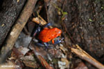 Strawberry poison-dart frog (Oophaga pumilio) [costa_rica_la_selva_1862]