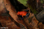 Strawberry poison-dart frog (Oophaga pumilio) [costa_rica_la_selva_1864]