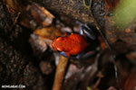 Strawberry poison-dart frog (Oophaga pumilio) [costa_rica_la_selva_1866]