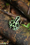 Green-and-black poison dart frog [costa_rica_la_selva_1871]