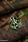 Green-and-black poison dart frog [costa_rica_la_selva_1872]