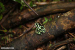 Green-and-black poison dart frog [costa_rica_la_selva_1873]