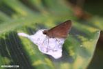 Butterfly feeding on bird poop