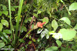 Orange rainforest flower [costa_rica_osa_0005]