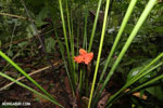Orange rainforest flower [costa_rica_osa_0006]
