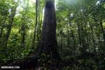 Rainforest [costa_rica_osa_0015]