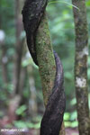Woody liana