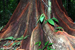 Osa rainforest tree [costa_rica_osa_0072]