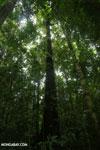 Osa rainforest [costa_rica_osa_0088]