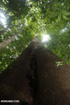 Looking up the trunk of a rainforest tree [costa_rica_osa_0095]