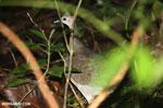 Bird [costa_rica_osa_0101]