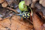Turquoise, blue, and yellow weevil [costa_rica_osa_0104]