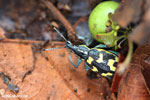 Turquoise, blue, and yellow weevil [costa_rica_osa_0105]