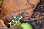 Turquoise, blue, and yellow weevil [costa_rica_osa_0108]