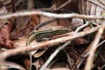 Lizard [costa_rica_osa_0113]