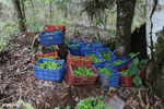 Reforestation project on the Osa Peninsula [costa_rica_osa_0116]