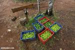 Reforestation project on the Osa Peninsula [costa_rica_osa_0118]