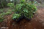 Reforestation project on the Osa Peninsula [costa_rica_osa_0119]