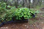 Reforestation project on the Osa Peninsula [costa_rica_osa_0121]
