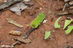 Leaf-cutter ants [costa_rica_osa_0131]