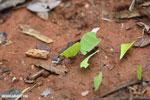 Leaf-cutter ants [costa_rica_osa_0132]