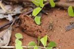 Leaf-cutter ants [costa_rica_osa_0134]
