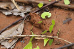 Leaf-cutter ants [costa_rica_osa_0135]