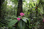Pink flowers [costa_rica_osa_0170]