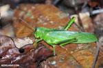 Green grasshopper with silver eyes [costa_rica_osa_0182]