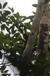 Spider monkey [costa_rica_osa_0191]