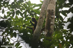Spider monkey [costa_rica_osa_0194]